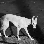 Whippet am See